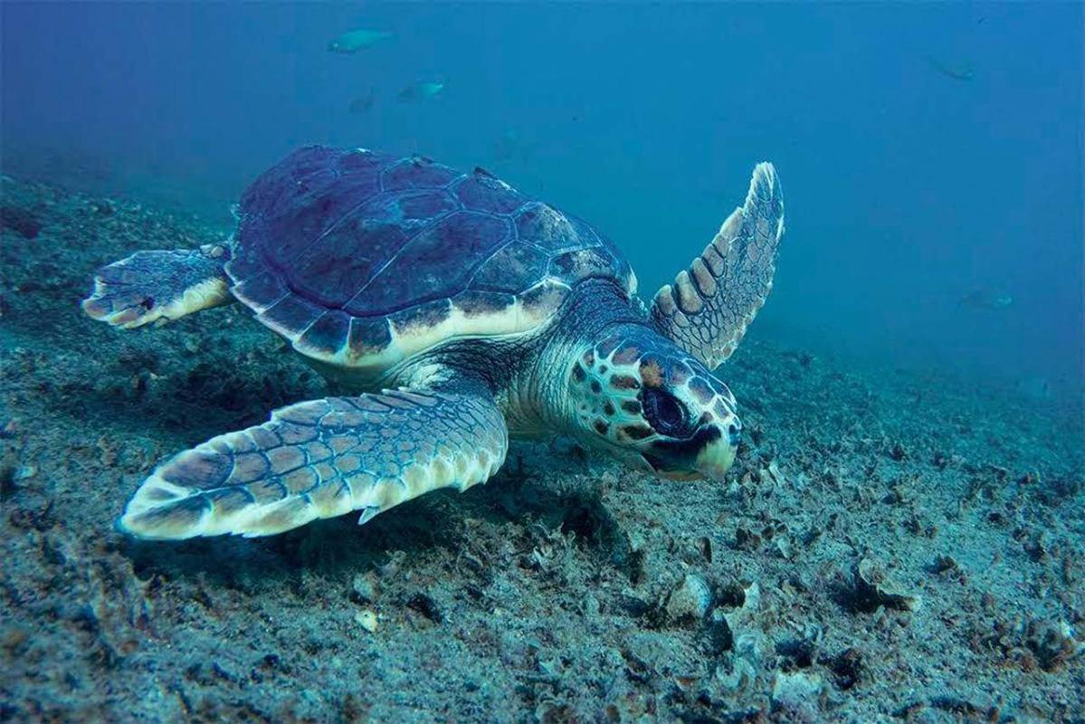 Bolji dani za glavate želve